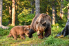 Mama bear and cubs (Matteo Liberati) Tags: kainuu suomussalmi finlandia bear martinselkoseneräkeskus oso orso finland fi wildlife nature natura naturaleza karhu animal forest foresta estate summer verano trees alberi arboles cub baby cubs cucciolo cachorros cuccioli wild safari salvaje selvaggio outdoors exterior north nordic nordico nord artic artico europe europa