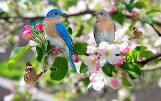 BLUEBIRDS  AND BUTTERFLIES IN BLOSSOMS