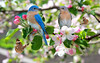 BLUEBIRDS  AND BUTTERFLIES IN BLOSSOMS (stew117artist) Tags: bluebirds butterflies blossoms