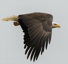 Bald Eagle- In flight (Dave Pley Photos) Tags: