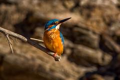 Kingfisher - Guarda-rios (www.craigrogers.photography) Tags: kingfisher guardarios river fish odelouca serra sãomarcosdaserra saomarcosdaserra faro silves algarve portugal