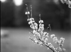 img340 (wolffriend333) Tags: mamiya6451000s aristaedu 120 rollfilm blackandwhite ilfotecddx homedeveloped waterfalls laruelrunpark hawkinscounty tennessee flower tree redbud