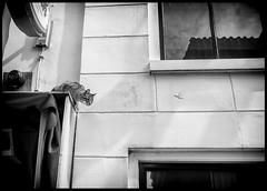 Hunting (Ramon Quaedvlieg Photo) Tags: cat feline haarlem netherlands haarlemcity animal animals animalia blackandwhite blackandwhitephotography street streetphotography streetlife streetscene nature outdoor window reflections eye urban urbanlife urbanscene