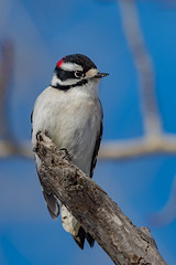 Downy Woodpecker (airboy123) Tags: downy woodpecker picoides pubescens
