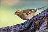 Fringuello (fausto.deseri) Tags: chaffinch fringillacoelebs fringuello parcodellapiana wildlife nature birds wild sestofiorentino nikond7100 nikkor300mmf28afsii nikontc17eii faustodeseri