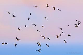 The birds - Les oiseaux