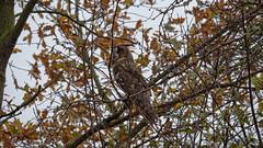 Waldohreule auf ihrem Schlafplatz (Oerliuschi) Tags: eule waldohreule natur ahsewiesen nahaufnahme panasonicgh5 leicadg100400 birds owl