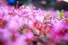 Pink Garden (pippuriric) Tags: sigma sdquattro colorful foveon flowers pink ヒメツルソバ ピンク 花 garden 庭