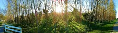 188. SUNDANCE: Riverbank Trail Panorama (Meili-PP Hua 2) Tags: sundance sunny sunrays trees shrubs bushes sunflare sky tree plants nature green landscape parksandrecreation woods forest grass bush bikingtrails biketrails recreation parks panorama mlpphlandscape mlpphpanorama mlpphsundance