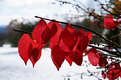 November Snow (SkyeHar) Tags: rojo colorful nature red snow leaves leaf foliage white natur naturaleza landscape sonya6300 a6300 sel50f18s tree bush burningbush dof depthoffield light shadows weather feuillage
