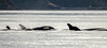 Family of Orcas (Warp Factor) Tags: alertbay canont4i orcas summer2017 whales sealife vacation killerwhale wilderness wildlife tamron150600mmalertbaycanont4ihumpbackorcassummer2017whalessealifevacationwildernesswildlife