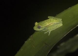 Amazon polk-a-dot Treefrog