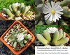 Psammophora longifolia (collage) (Succulents Love by Pasquale Ruocco (Stabiae)) Tags: psammophora longifolia collage pasqualeruocco piantegrasse piantagrassa plantesgrasses stabiae succulentslove succulents succulent southafrica succulenta succulentas sukkuleten forumcactusco cactusco mesembs mesembryanthema mesembryanthemaceae bcss bolus cssa kuas mimetismo mimicry aizoaceae