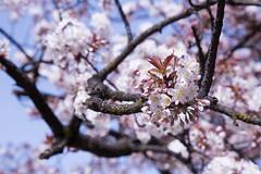 Sakura Blossoms (Hannah_Nieman) Tags: adventuresinjapan japan tokyo travel uenopark sakura sakurablossom cherryblossom blossom cherrytree pinkflowers flowers nature japanesecherryblossoms