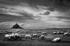 Rencontre (tof-lo62) Tags: noir et blanc black white mont saint michel bretagne brittany france moutons ciel sky landscape reflet reflection