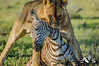 AWG_20090308_0003.jpg (Lion Mountain Media) Tags: andregilden anitagilden aquavision burchellszebra equusquagga kill lion march pantheraleo young betweenlegs calf carnivore cat closeup dead dragging eating felidae female frontview interaction juvenile lioness lowangleview mammal morning nobody predator savanna savannah twoanimals vulnerable