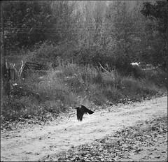 * (PattyK.) Tags: ioannina giannena giannina epirus ipiros balkans hellas ellada greece grecia griechenland europe europeanunion mycity whereilive snapseed amateurphotographer nikond3100 autumn november 2017 ιωάννινα γιάννενα γιάννινα ήπειροσ βαλκάνια ελλάδα ηπόλημου ευρώπη όμορφηπόλη greekcity νοέμβριοσ φθινόπωρο crow bid flying flight blackbird κοράκι μαύροπουλί άσπροκαιμαύρο monochrome nature φύση