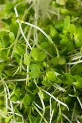 Healthy Raw Organic Microgreens (brent.hofacker) Tags: alfalfa baby background broccoli diet food fresh garden germinate green grow growing growth health healthy ingredient leaf micro microgreens microgreen natural nature nutrition nutritious organic plant raw salad seed seedling spring sprout sprouts sunflower superfood vegan vegetable vegetarian young