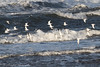 Ringed Plver / Sanderling (Dougie Edmond) Tags: burn pow estuary birds sunshine canon wildlife nature