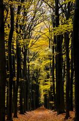 Autumn Royale (Jorick77) Tags: herfst autumn trees veluwe d7200 nikond7200 nikon1680mmf284edxvr woodland bomenlaan beuk beukenlaan