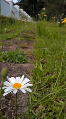 Daisy Path (medeirosisabel16) Tags: primavera spring flower nature natureza campos do jordão margarida marguerite daisy path grass celular cell phone garden verde green