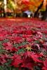 autmn leaves (kiichilog) Tags: 紅葉 autmnleaves autmn
