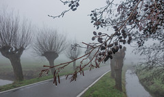 Willows 'n' alder (Jorden Esser (on a break)) Tags: middendelfland alder branches fog mist road trees waterdroplets willowtrees saturday