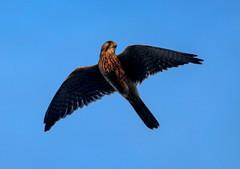 Kestrel (xDigital-Dreamsx) Tags: falcon bird birdofprey hunter kestrel nature naturephotography wildlife rural field contrast flight fly naturethroughthelens ngc npc