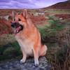 Lola (juanmartinez81) Tags: dog dogs germanshepherd germanshepherddog gsd alsatian animals pets