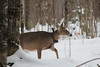 High Stepping (view2share) Tags: november122017 november2017 november 2017 deansauvola whitetail whitetaildeer deer snow snowfall snowcover wilderness wildlife michigan mi upperpeninsula uppermichigan northernmichigan northwoods northwood tracking track trace tracing autumn fall winter brouse brousing outdoors houghtoncounty ottawanationalforest woods wood forest rural animal doe fawn yearling visitor reserve