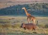 African Safari. Neighbors. (Lena and Igor) Tags: hippo savanna africa safari travel landscape mammal sunrise morning kenia masaimara dslr dx apsc nikon d5300 nikkor 18300