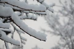 Esimene lumi (anuwintschalek) Tags: nikond7000 d7k 18140vr austria niederösterreich wienerneustadt talv winter november 2017 hommik morgen morning schnee snow esimenelumi lumi valge white weiss lörts schneeregen märg wet nass aed garden garten home kirschbaum cherrytree kirsipuu
