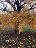 Autumn old pear (Sati Amall) Tags: tree autumn garden gold oktober leaf yellow