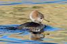 Hooded Merganser (Ed Sivon) Tags: america canon nature lasvegas wildlife wild western water southwest desert duck clarkcounty clark vegas bird henderson nevada nevadadesert preserve