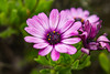 Pink flowers at work (LachMH) Tags: macro flower purple pink close zoom nature wild canon 700d rebel t5i 1855mm lens diopter canberra cbr