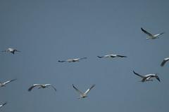 Kraniche Grus grus (planetvielfalt) Tags: aves gruidae gruiformes berga sachsenanhalt deutschland