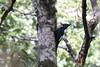 Magellanic Woodpecker (Campephilus magellanicus) (Brendan A Ryan) Tags: magellanicwoodpecker campephilusmagellanicus