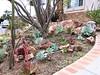 Dudleya front yard - Vince Scheidt - edited (CA Native Plant Society) Tags: cnps california native plant society garden ambassador dudleya boulders front yard southern spring home landscape
