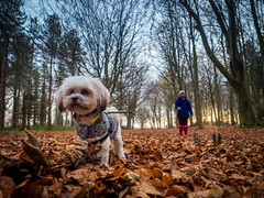 Robin in the woods (johnnewstead1) Tags: dog pet petphotography lhasa lhasaapso woods bactonwoods autumn autumnleaves northwalsham norfolk walk walkies johnnewstead olympus em1 mzuiko