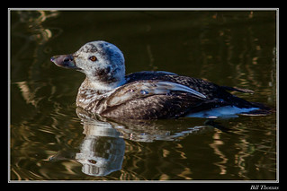 Long-tailed Duck-1