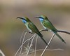 Fancy sharing a bee (Grumpys Gallery) Tags: greenbeeeater birds wildlife nature dubai uae
