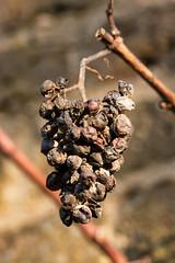 dying on the vine (Francis Mansell) Tags: grapes bunchofgrapes shrivelled fruit plant dof depthoffield kew macro kewgardens royalbotanicgardenskew bunch grape grapevine mouldy