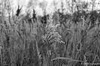 Bull Rush (daveseargeant) Tags: medway kent upnor leica x typ 113 monochrome