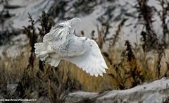 Snowy Owl (rumerbob) Tags: snowyowl owl birdofprey raptor bird birdwatching birdwatcher wildlife wildlifewatcher nature naturewatcher islandbeachstatepark canon7dmarkii canon100400mmlens