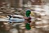 Mallard (Doug Scobel) Tags: mallard anas platyrhynchos kensington metropark water duck reflection