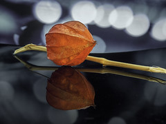 Physalis Reflection (parkerbernd) Tags: physalis reflection lantern flower flowering plant nightshade autumn bokeh macro closeup nature