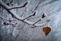 Mientras quede un hilo de vida (javipaper) Tags: winter white snow frozen nieve esperanza hope invierno frío cold blanco naturaleza nature árbol tree sheet hoja vida life