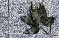 Falled (Kindallas) Tags: leaf leaves folhas street outono auntum
