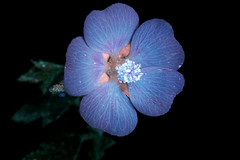 Mallow 2 s (C. Burrows) Tags: uvivf flower botany nature