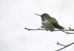 Braving the Cold (robinlamb1) Tags: outdoor nature animal bird hummingbird annashummingbird calypteanna backyard aldergrove snow cold bushbranch perch